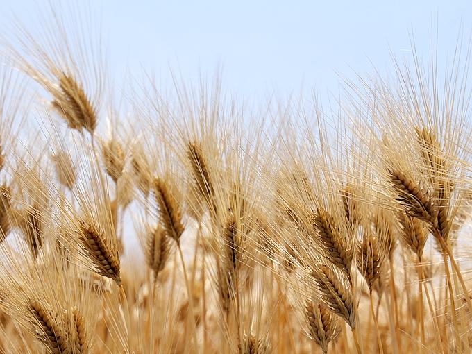 麦秋の麦畑 白山市