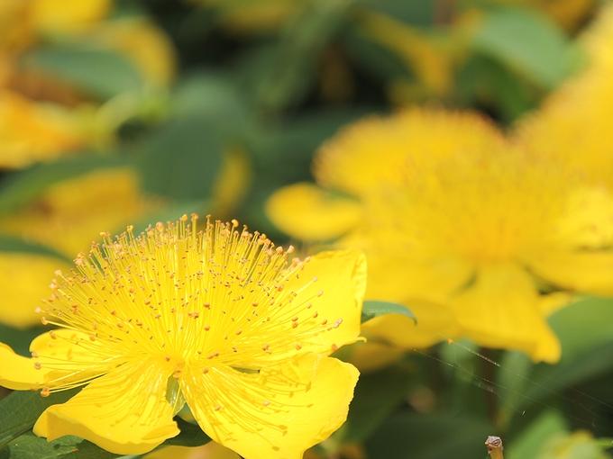 並木に咲く黄色い花 金沢市太陽が丘