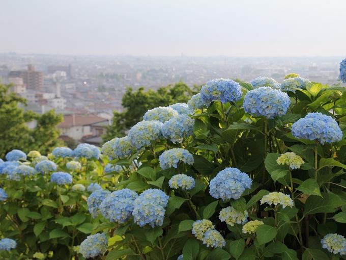 色づき始めた紫陽花 金沢市大乗寺丘陵公園