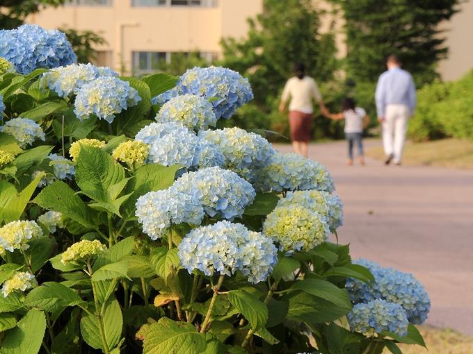紫陽花と親子 金沢市大乗寺丘陵公園