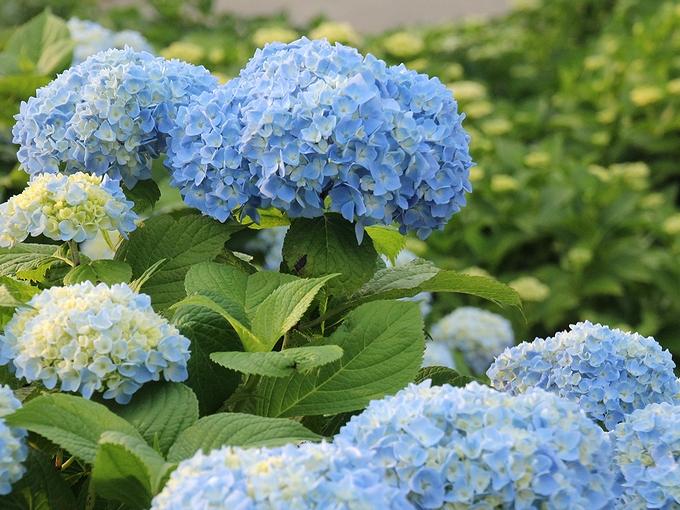 金沢市大乗寺丘陵公園の紫陽花 色づき始め