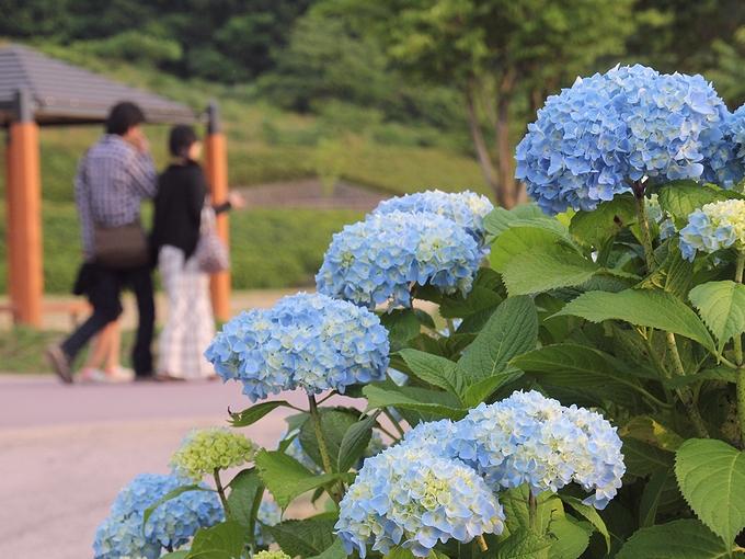 紫陽花と若夫婦 金沢市大乗寺丘陵公園