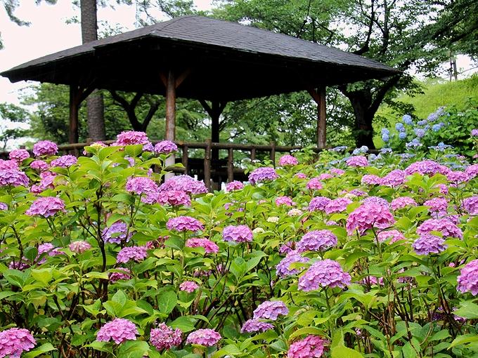多摩川台公園の紫陽花 あずまやと