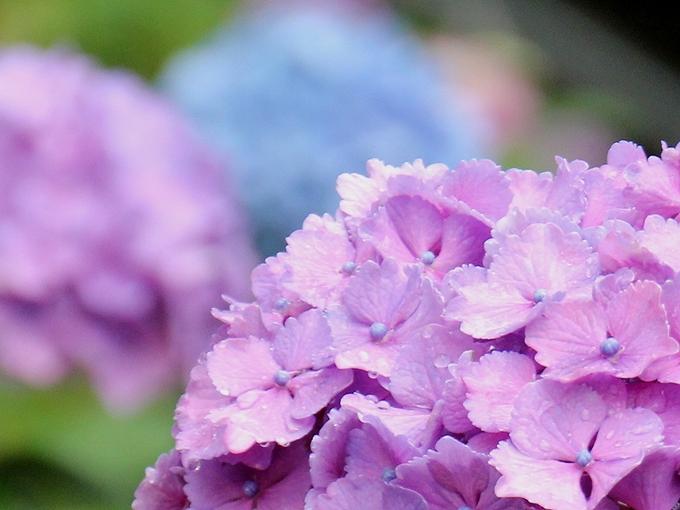 多摩川台公園の紫陽花たち