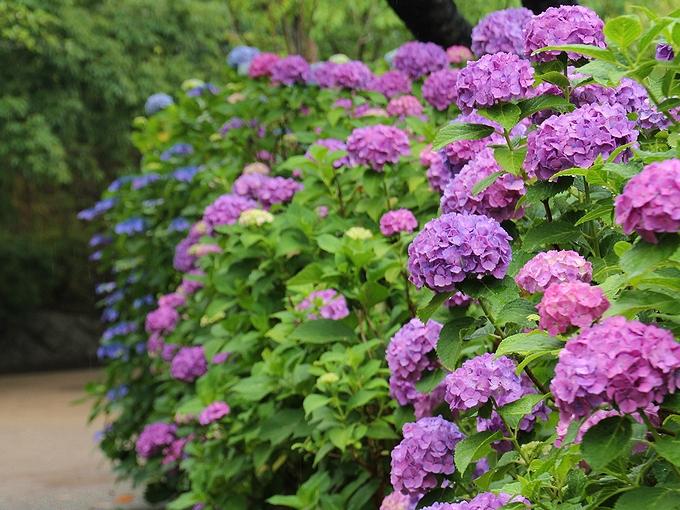 紫陽花の小径 大田区多摩川台公園