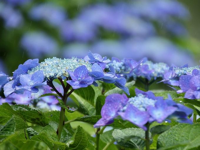 旧芝離宮恩賜庭園の青いアジサイ