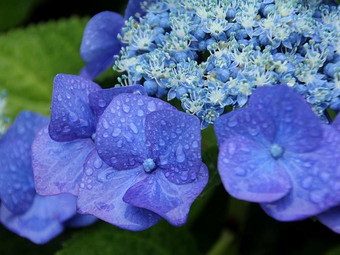 青いガクアジサイ 旧芝離宮恩賜庭園