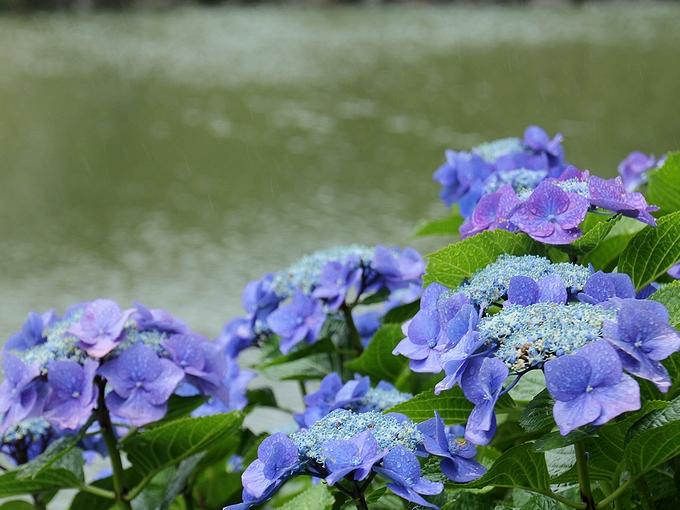 旧芝離宮恩賜庭園 池のほとりの紫陽花