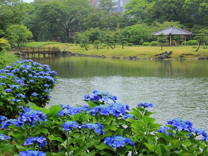 日本庭園と紫陽花 旧芝離宮恩賜庭園