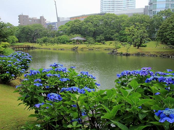 旧芝離宮恩賜庭園 池のほとりの青いガクアジサイ