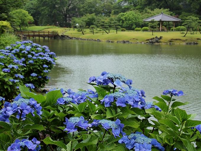 旧芝離宮恩賜庭園の紫陽花