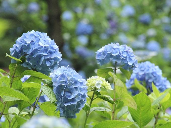 明月院ブルー 鎌倉のあじさい寺