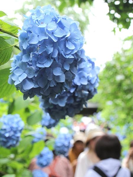 明月院の紫陽花 鎌倉市