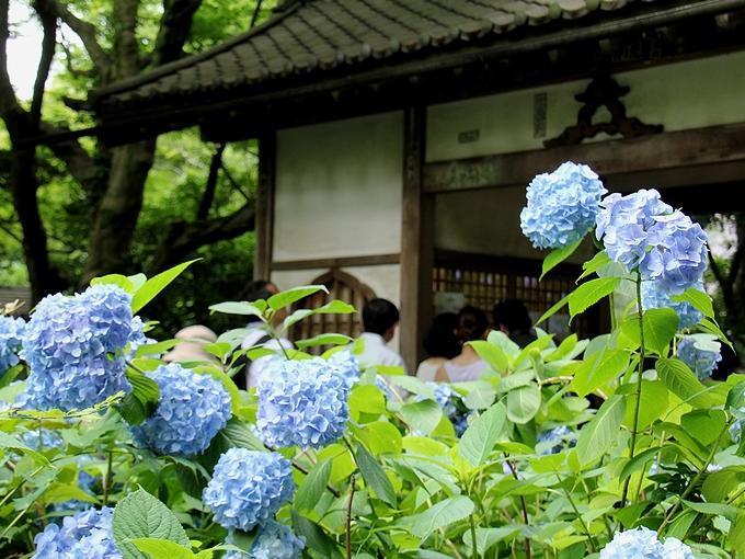 明月院の青い紫陽花