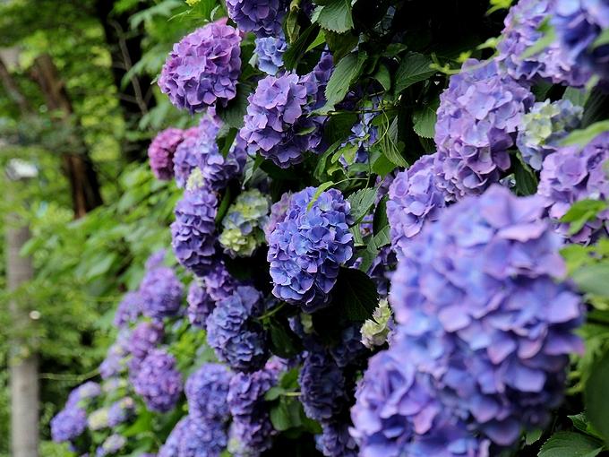 明月院への参道にある紫の紫陽花
