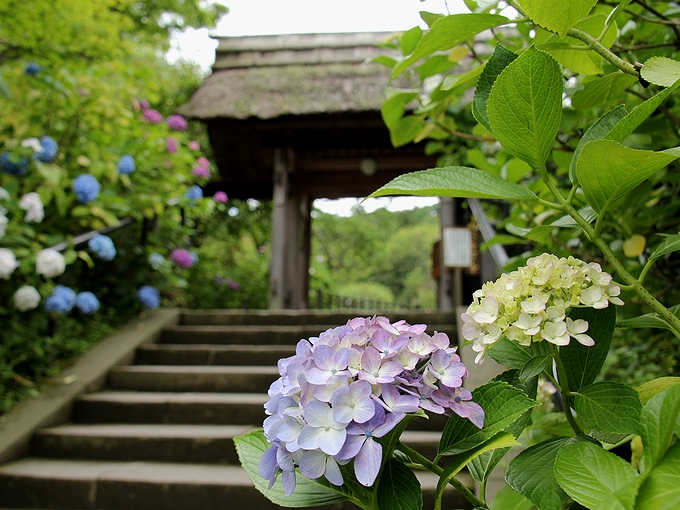 鎌倉 東慶寺の山門と紫陽花