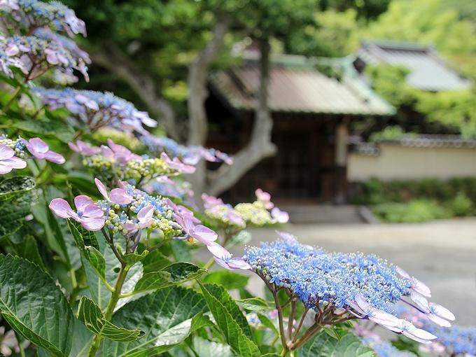 鎌倉の街に咲く紫陽花