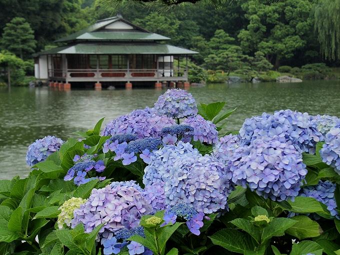 清澄庭園 「涼亭」と紫陽花