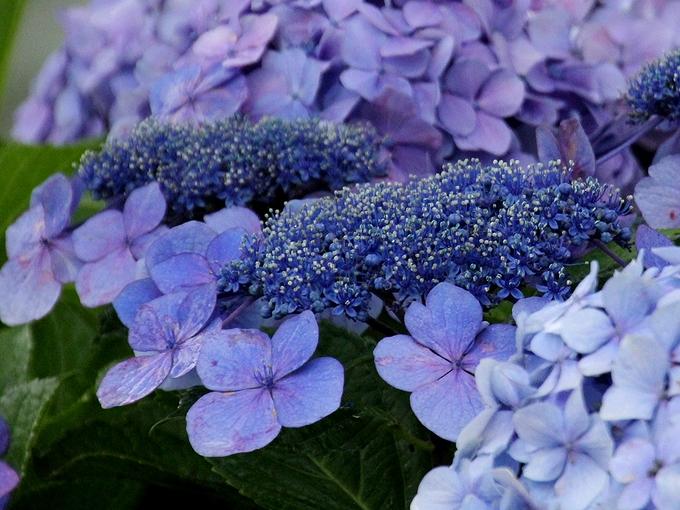 紫のガクアジサイ 清澄庭園(東京都)