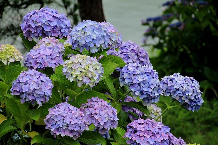清澄庭園の池のほとりに咲く紫陽花