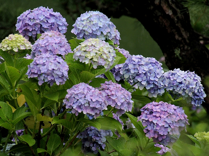 清澄庭園の紫陽花