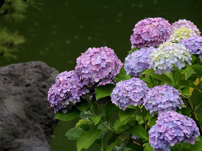 清澄庭園の池のほとりの紫陽花
