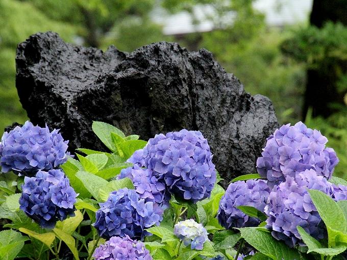 名石と紫陽花 東京都清澄庭園