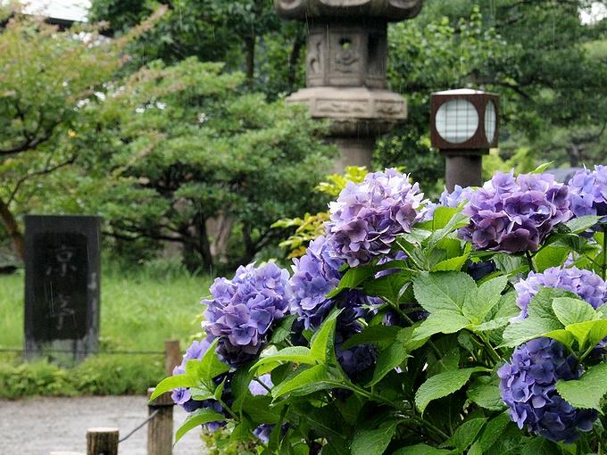 涼亭の前に咲く紫陽花 東京・清澄庭園