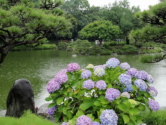 清澄庭園 水辺の紫陽花