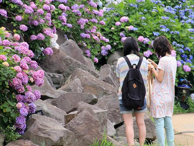 小田原城 紫陽花の写真を撮る女性たち