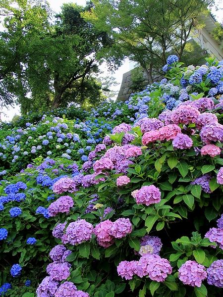 小田原城の紫陽花 とってもカラフル