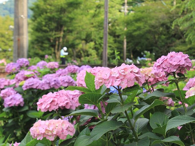 大平台周辺の紫陽花