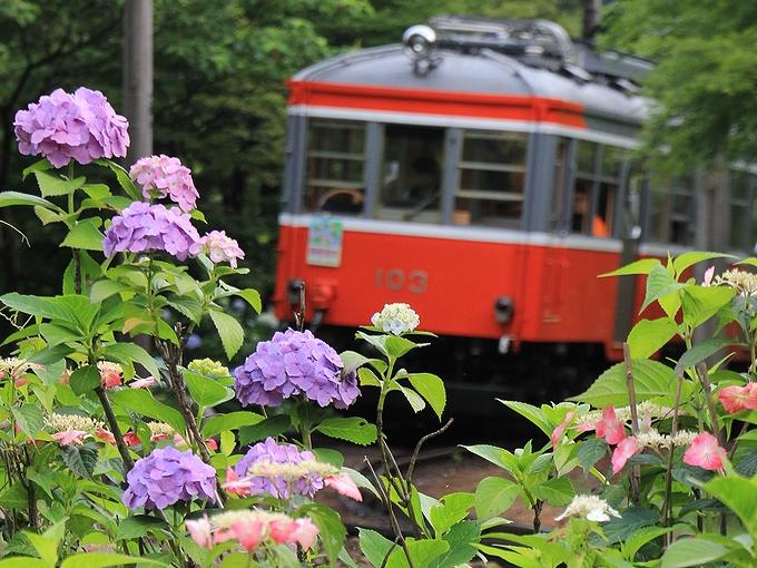 箱根登山電車沿線の紫陽花
