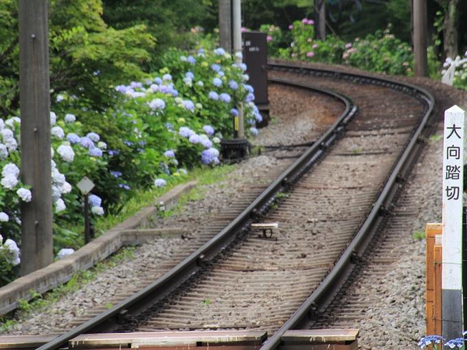 箱根登山電車 「大向踏切」と紫陽花咲く沿線