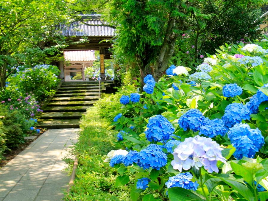 本興寺の参道と紫陽花 金沢市