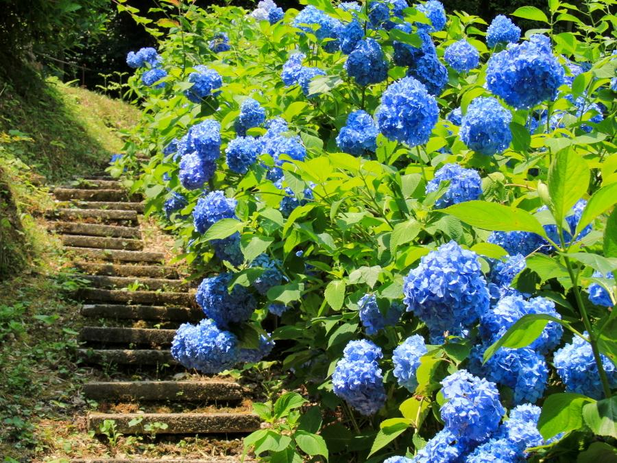 本興寺の裏手の紫陽花