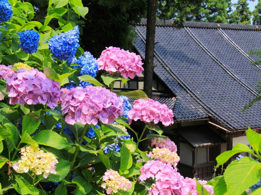 金沢市のあじさい寺 本堂と紫陽花と