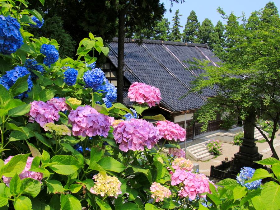 金沢のあじさい寺 本興寺