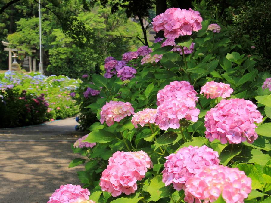 金沢のあじさい寺 本堂前の紫陽花