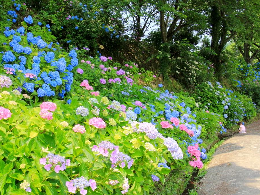 本興寺斜面の紫陽花 金沢市のあじさい寺