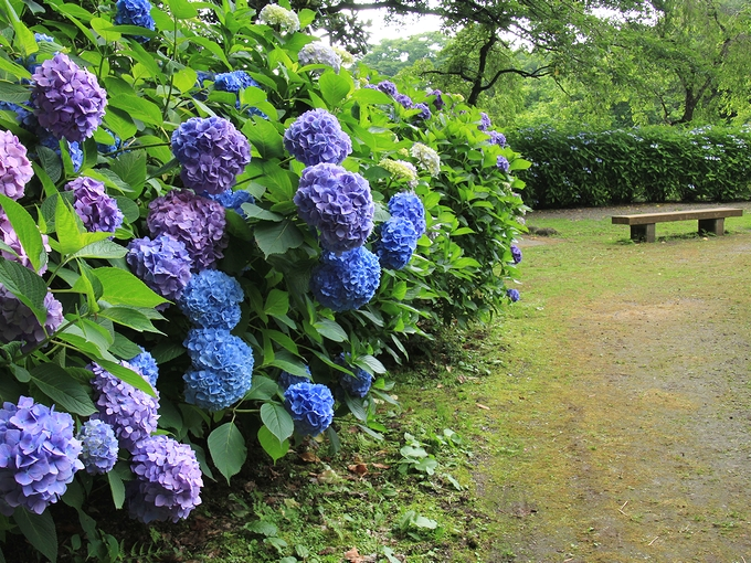 紫陽花の頃の卯辰山花菖蒲園の様子