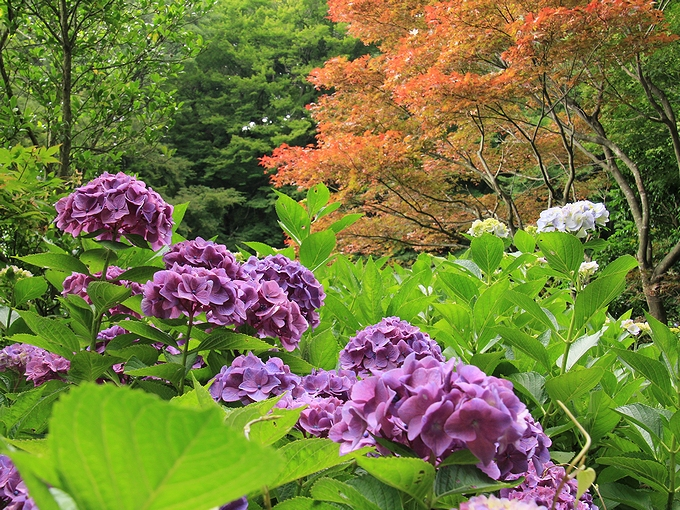 紫陽花と紅葉と 金沢市卯辰山花菖蒲園