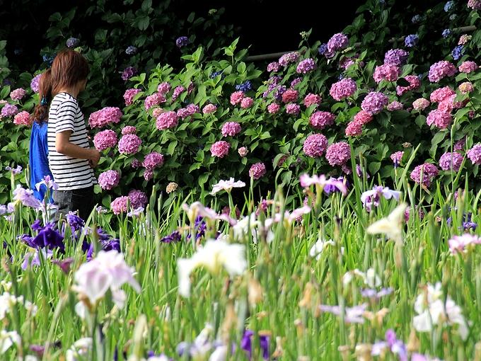 花菖蒲園 紫陽花とカップル