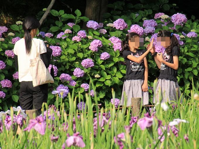 花菖蒲園 紫陽花と親子