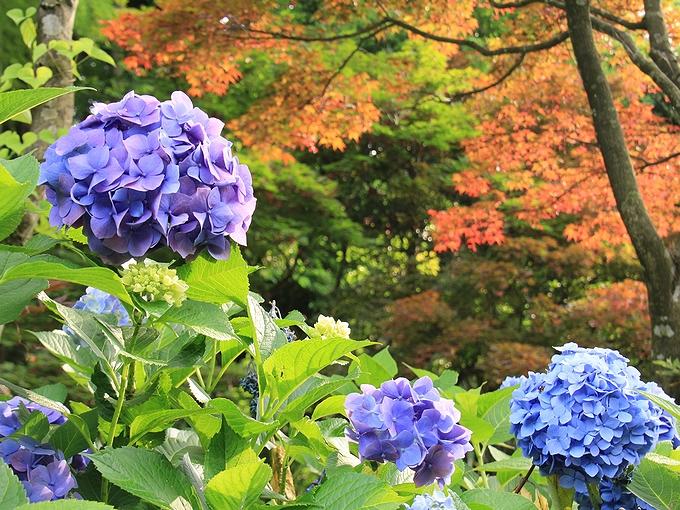 花菖蒲園の紫陽花 金沢市