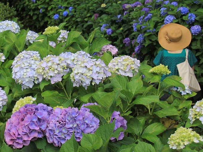 花菖蒲園 紫陽花と麦わら帽子の女性