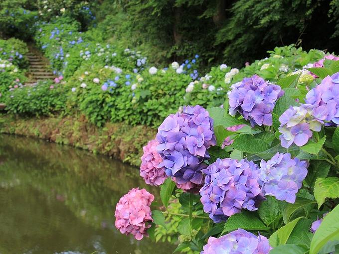 卯辰山花菖蒲園 池のほとりの紫陽花