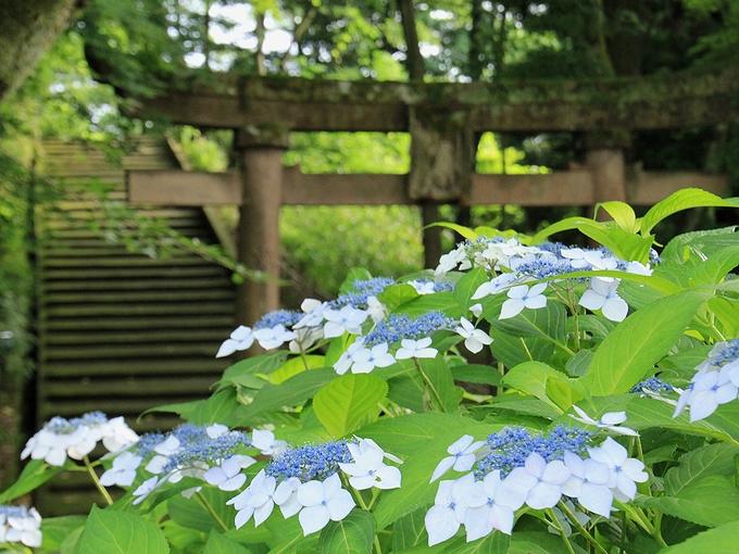 卯辰山 神社の鳥居と紫陽花