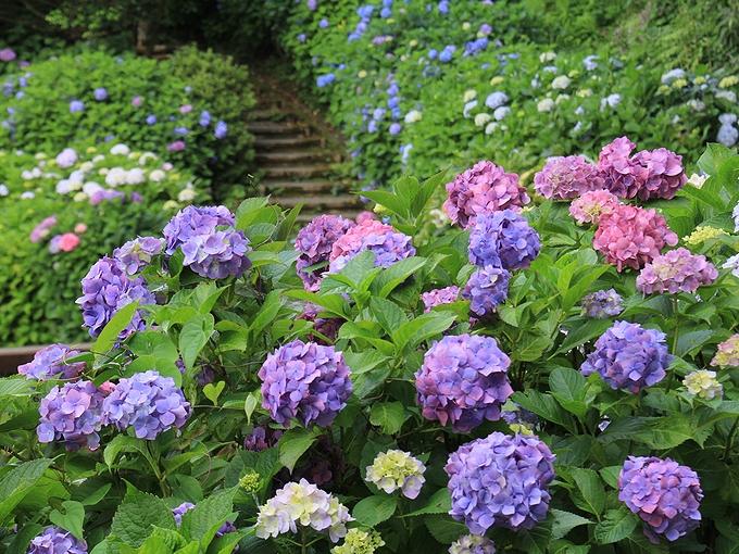卯辰山花菖蒲園の紫陽花