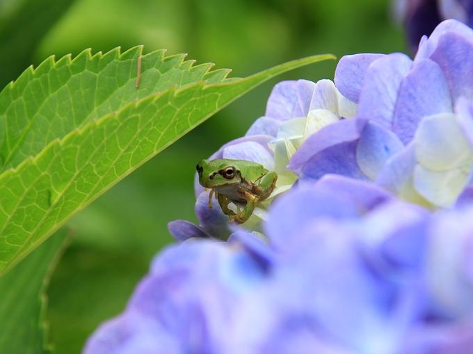 紫陽花と雨宿りの蛙 金沢市本興寺
